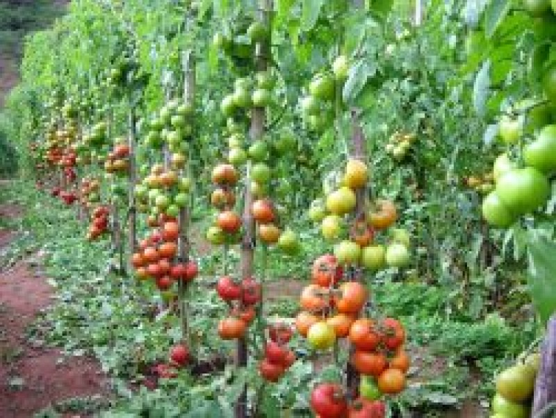 Tomate agroecológico custa 84% menos para ser produzido